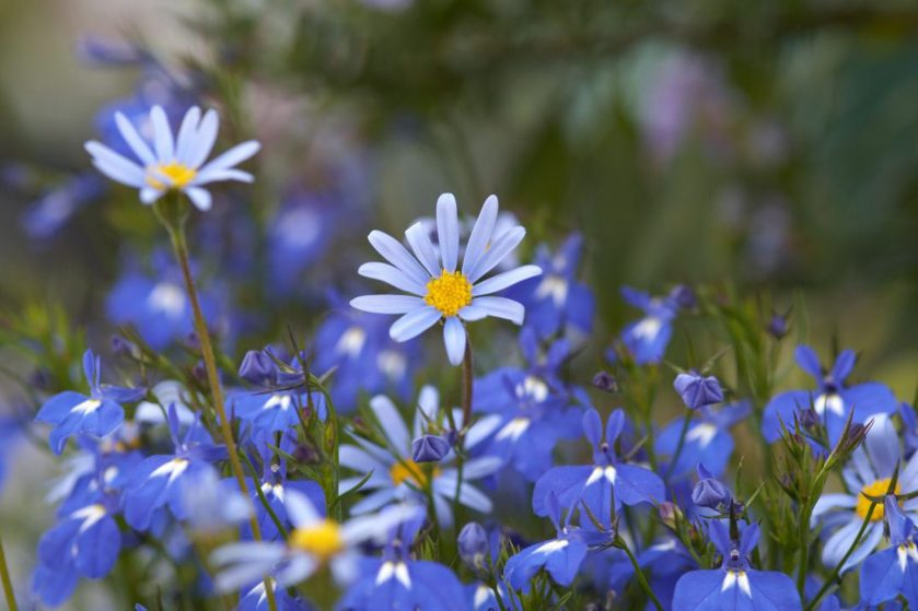 Blue kingfisher daisies with darker blue lobelia