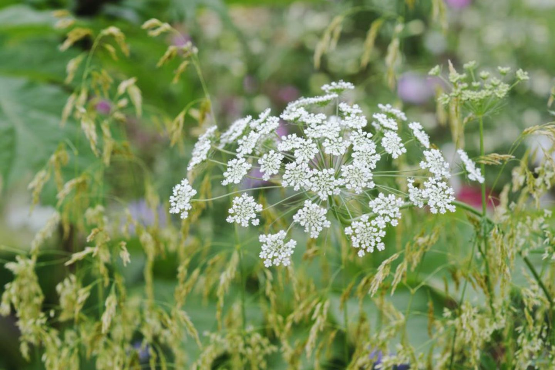 Ammi majus - BBC Gardeners' World Magazine