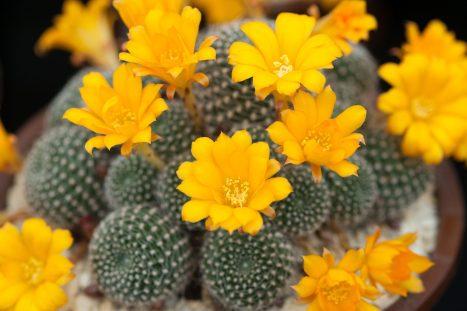 How to grow cactus - Rebutia krainziana