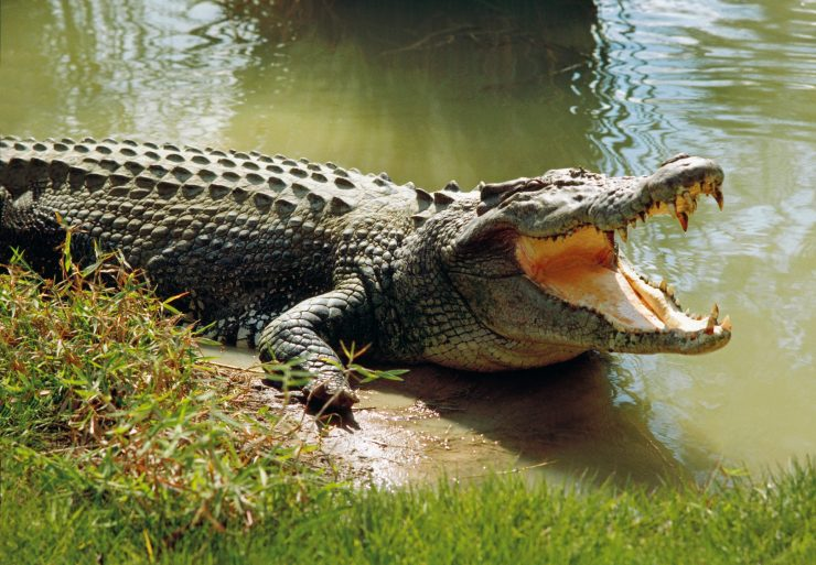 Saltwater crocodile guide: diet and where they live in the wild ...