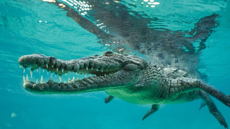 American crocodile. © Crossing the Line Productions