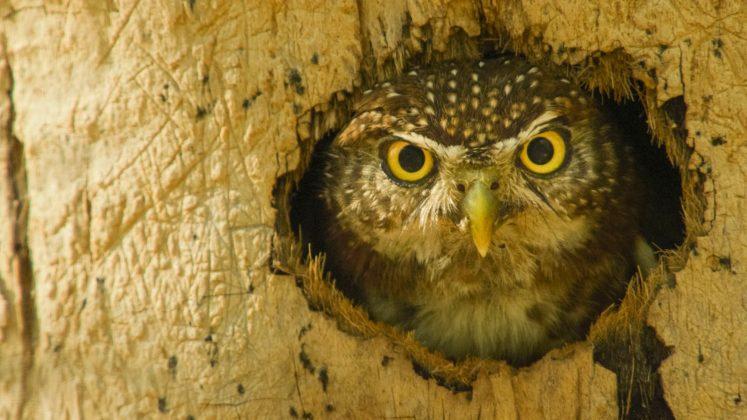Cuban pygmy owl.