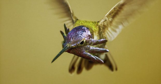 कोस्टा के हमिंगबर्ड का क्लोज़अप © बीबीसी / विनम्र बीफिल्म्स / सीलाइट पिक्चर्स