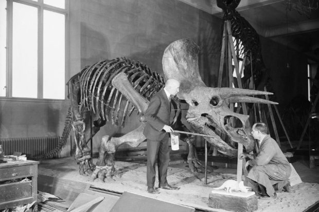 एक प्रारंभिक Triceratops जीवाश्म