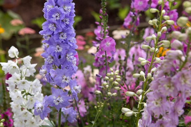 delphinium-fountain-mixed-5