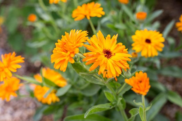 calendula-officinalis-3