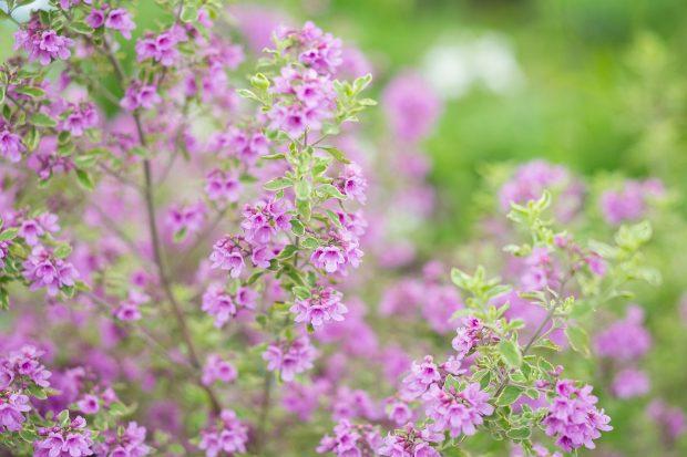 prosanthera-rotundifolia-3