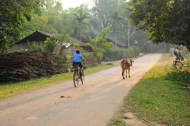 There is a wide road with grass on either side. There is a boy on a bike cycling down the road and a cow walking just a little ahead
