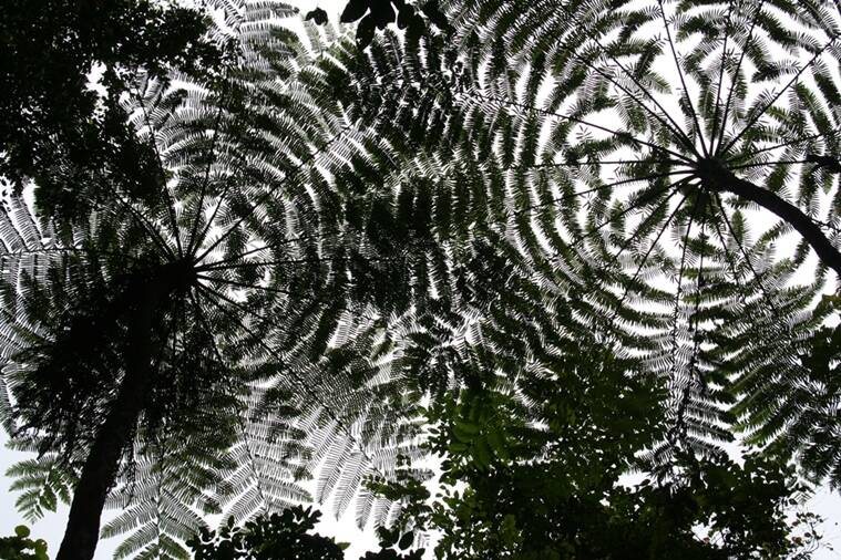 A ripple in the sky — tree ferns in the canopy of the forests of the Great Nicobar Biosphere Reserve.
