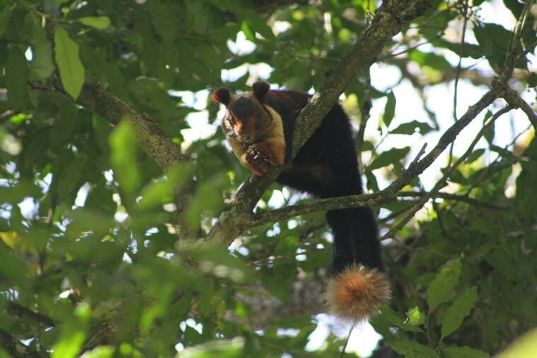 The endemic Malabar Giant Squirrel in the canopy of the Longwood Shola, a small part of forest close to the town of Kotagiri.