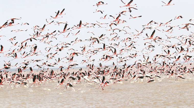 gujarat flamingos electrocuted, lesser flamingos, flamingos electrocuted in bhavnagar, flamingos electrocuted, gujarat birds electrocuted