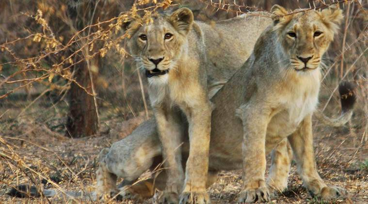 Asiatic lion, Amreli Asiatic lion death, Amreli asiatic lions, Amreli lions, Asiatic lion deaths,