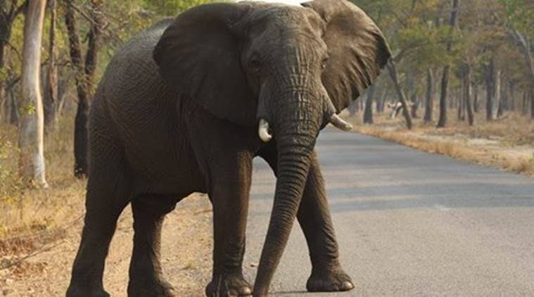 Odisha: Elephant brought to capture man-eating tigress tramples man