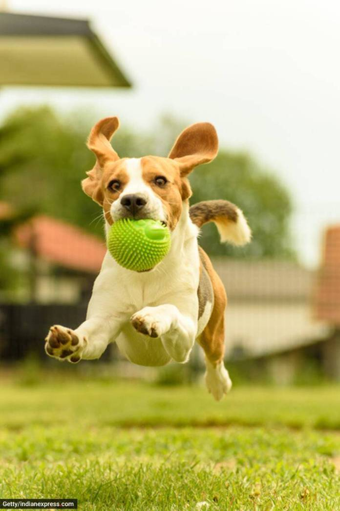 pet dogs, taking care of pet dogs, how to boost dog's immunity, meals for dogs, diet for dogs, exercises for dogs, boosting pet dog's immunity, indian express news