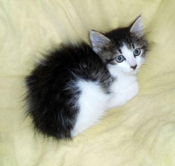 Котенок-мальчик Орфей, 2,5 мес., метис сфинкс-браш и мейн ...