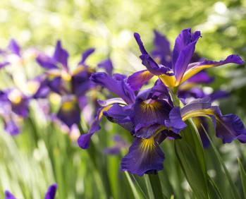 """Résultat de recherche d'images pour """"iris fleurs"""""""
