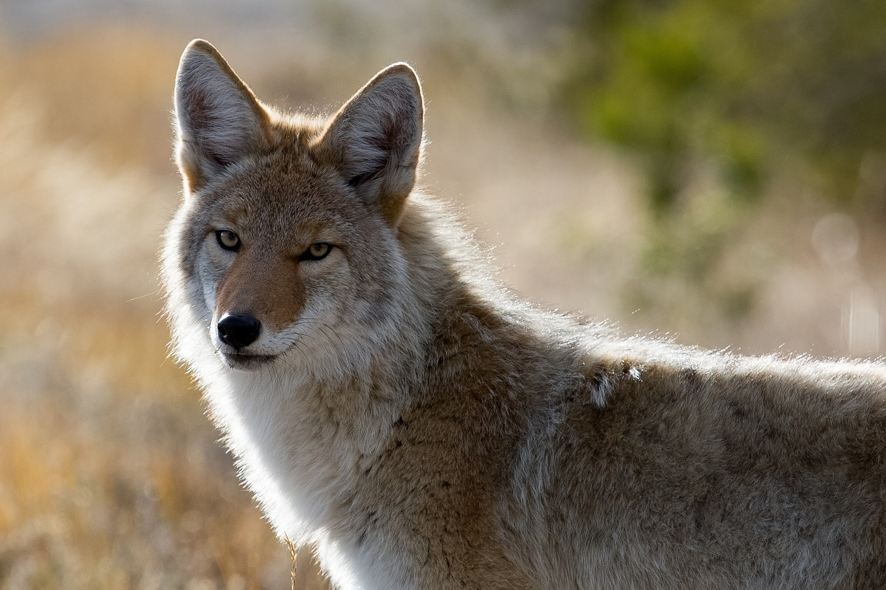 Research Illustrates How Coyotes Expanded Across North