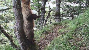 Aude Claire dans les pas du loup et de l'ours brun