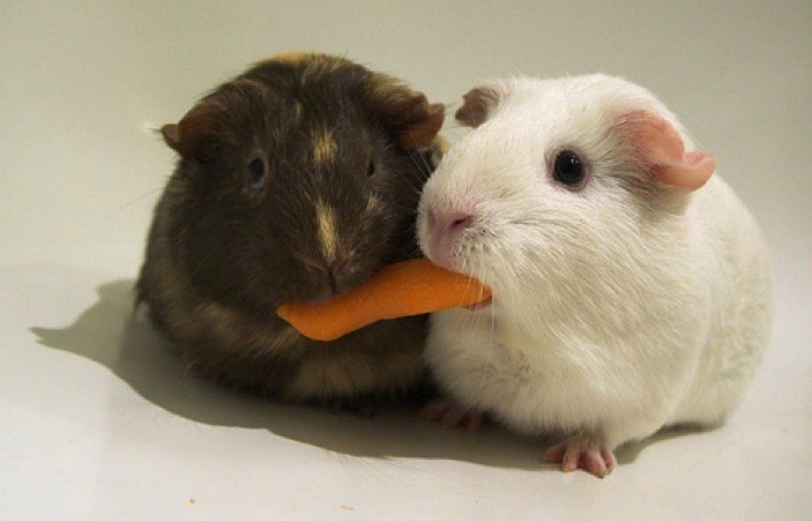 Sharing guinea pigs