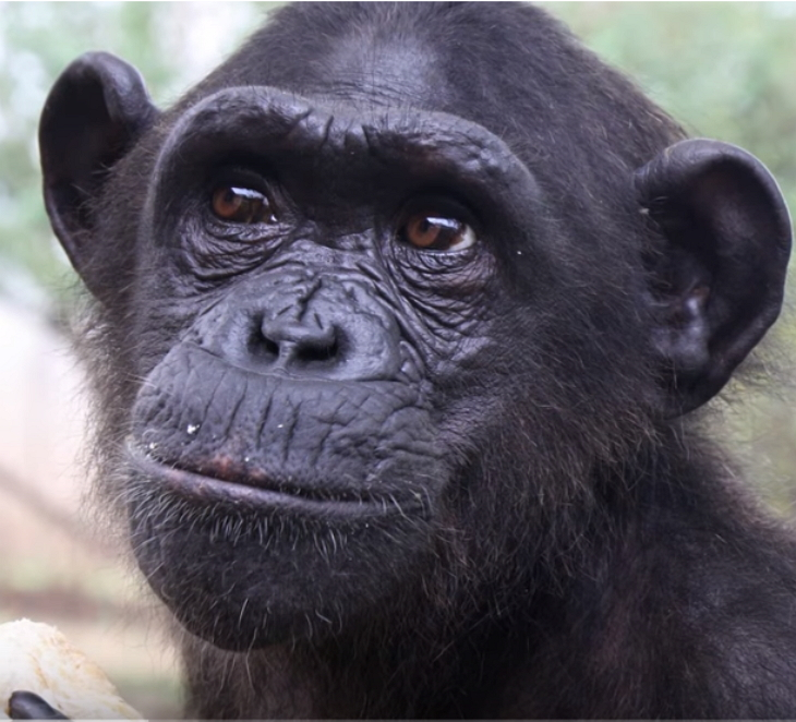 chimp - She Takes Care Of Sick Chimp. Chimp Is About To Be Released, And Her Final Act Is Tear-Dropping