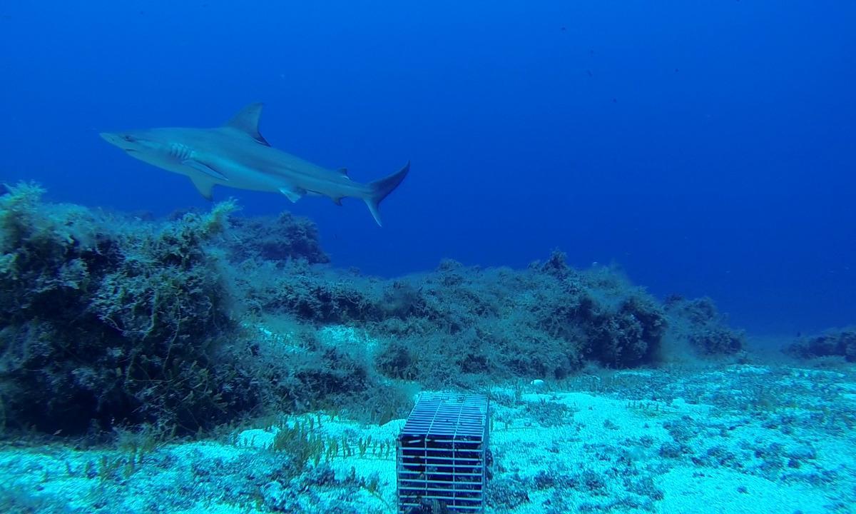 Gli squali grigi a Lampione: un progetto UniPa per la loro salvaguardia