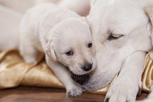 Un cucciolo di cane e sua madre