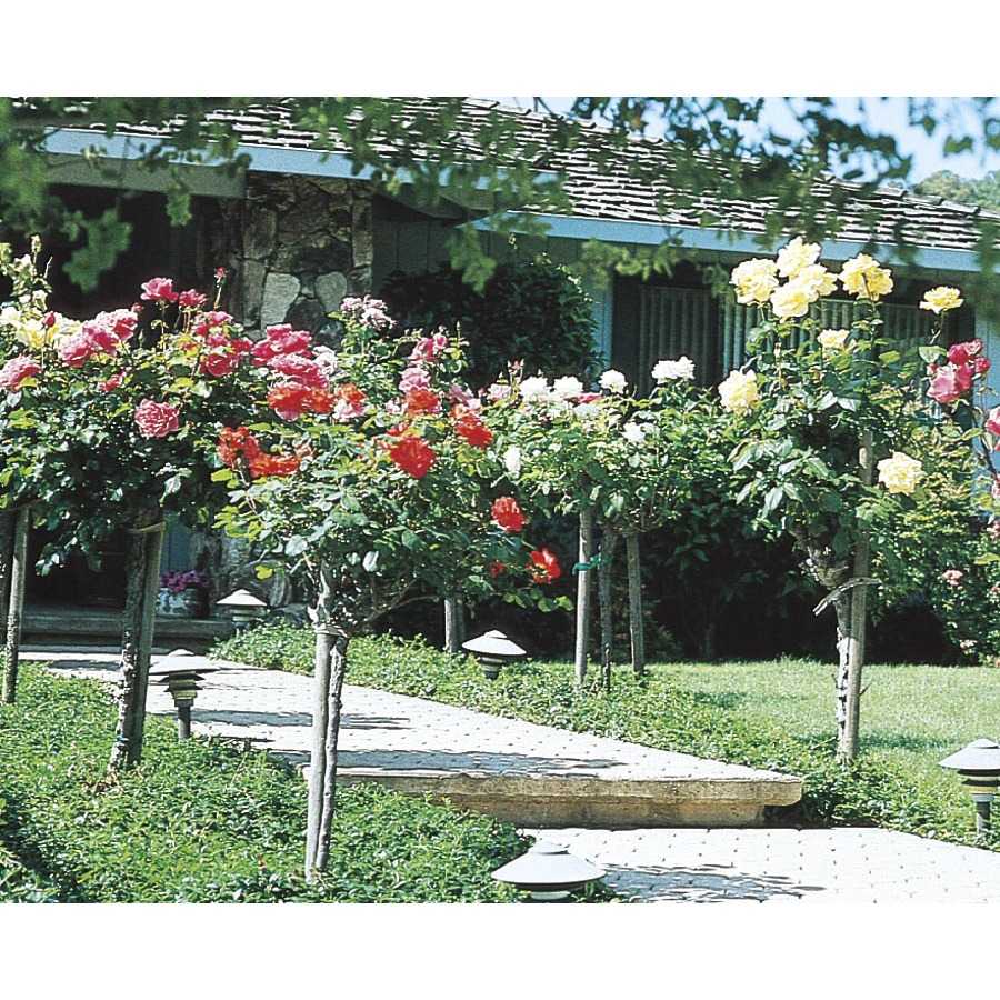 tree rose roses at lowes com