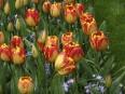 Bulbes étagés: doublez la floraison