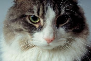 Un vétérinaire estime qu'un chat a évité de graves blessures en imitant un... (Photo: Phtothèque La Presse)