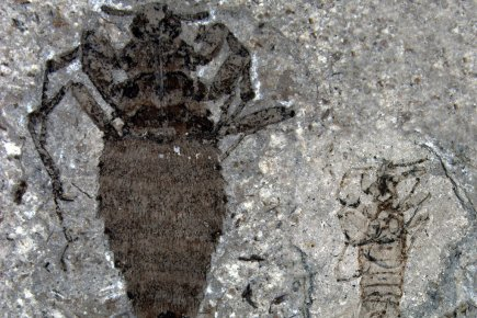 Un fossile d'une puce mâle et un fossile... (Photo: AFP/Nature)