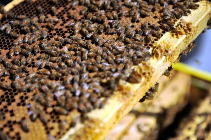 S'adonner à l'apiculture permet bien sûr de produire... (Photothèque Le Soleil, Steve Deschênes)