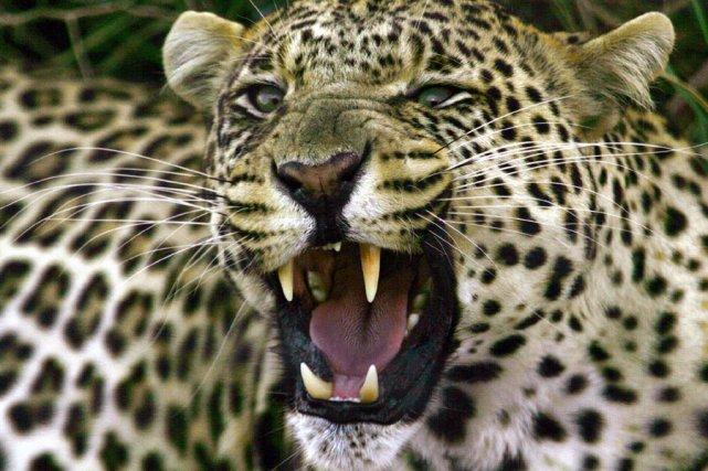 «Pourquoi le léopard a-t-il des taches?» Les nombreux parents plongés dans... (Photo: Archives AP)