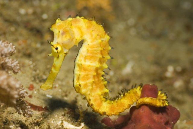 Comment l'hippocampe, mauvais nageur, parvient-il à se nourrir de proies bien... (PHOTO ARCHIVES)