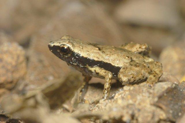 La grenouille Gardiner ne fait qu'un centimètre de... (Photo AFP)