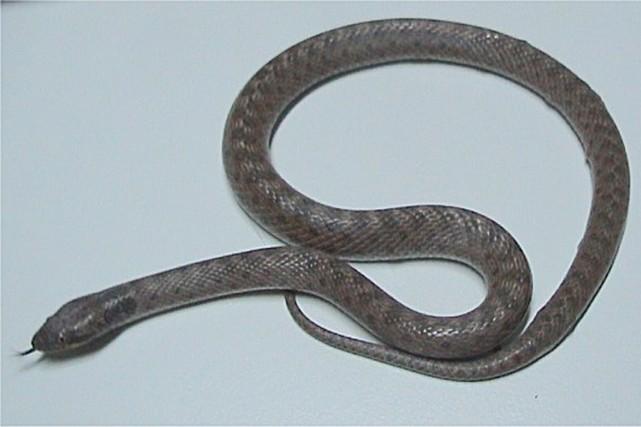 Le serpent Clarionne se trouve que sur l'île... (IMAGE TIRÉE DE WIKIPÉDIA)