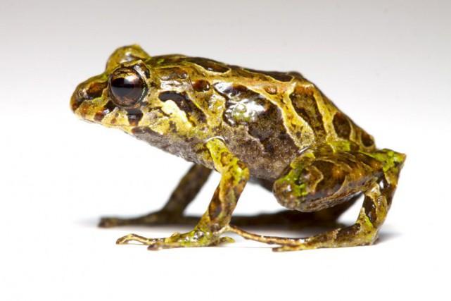 En seulement 330 secondes, cette grenouille de moins... (PHOTO LUCAS BUSTAMANTE, AFP)