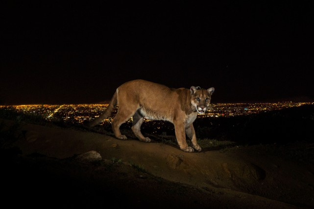 Un cougar... (Photo Steve Winter, archives Reuters)