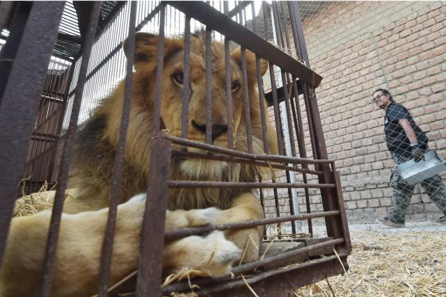 Un des 33 lions africains nés en captivité... (Photo CRIS BOURONCLE, AFP)