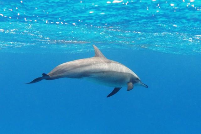 Après des années de recherche sur le comportement des dauphins et sous la... (ARCHIVES AP)