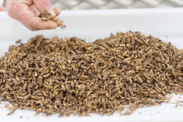 Que mangerons nous en 2030? Des insectes (notre... (PHOTO AFP)