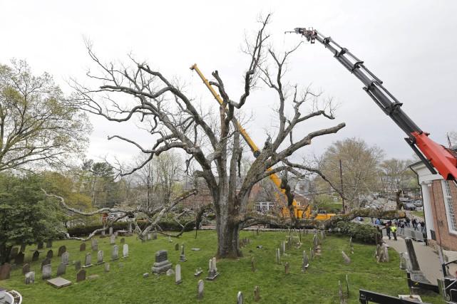 L'arbre fait plus de 30 mètres de haut,... (Photo Seth Wenig, Associated Press)