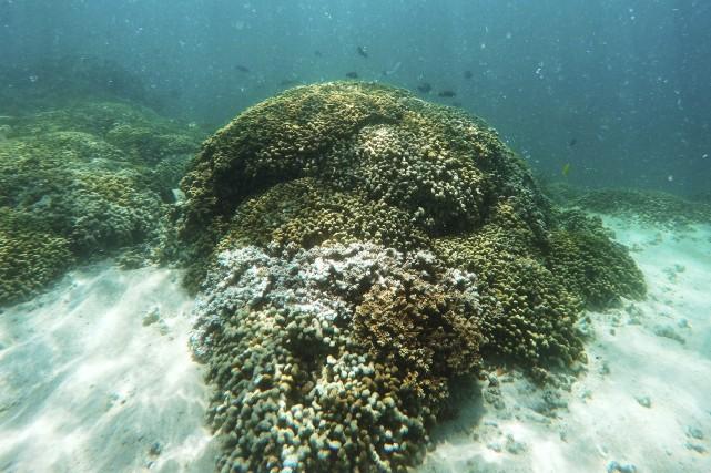 Le blanchissement des récifs coralliensse produit quand les... (PHOTO AP)