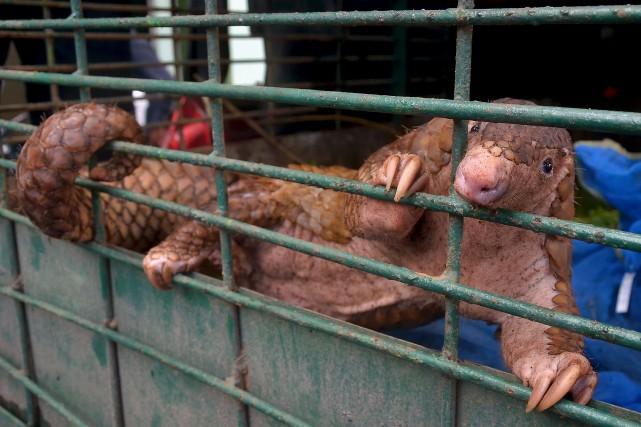 Le pangolin est protégé depuis septembre 2016 par... (AFP)