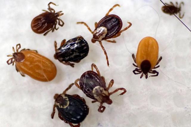 La maladie de Lyme se transmet à la... (PHOTO AP)