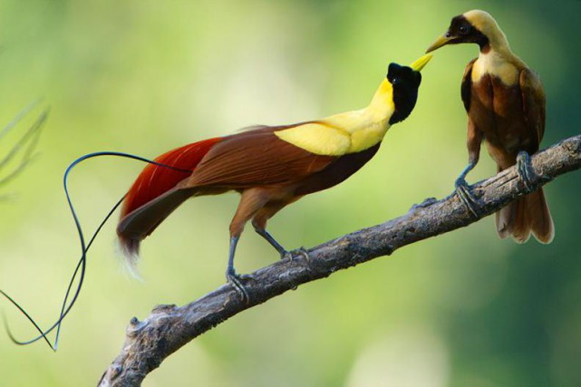 Un couple de Paradisiers rouges... (PHOTO TIRÉE DU COMPTE DE BIRDS OF PARADISE SUR PINTEREST)