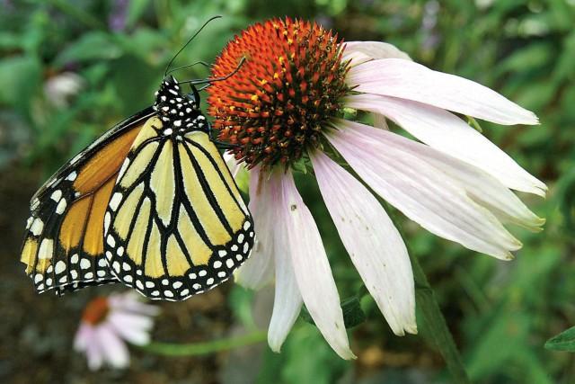 Les monarques sont un rouage essentiel de l'écosystème... (ARCHIVES AP)