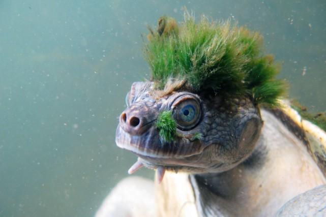 Reconnue comme une espèce à part seulement en... (PHOTO AFP/ZSL)