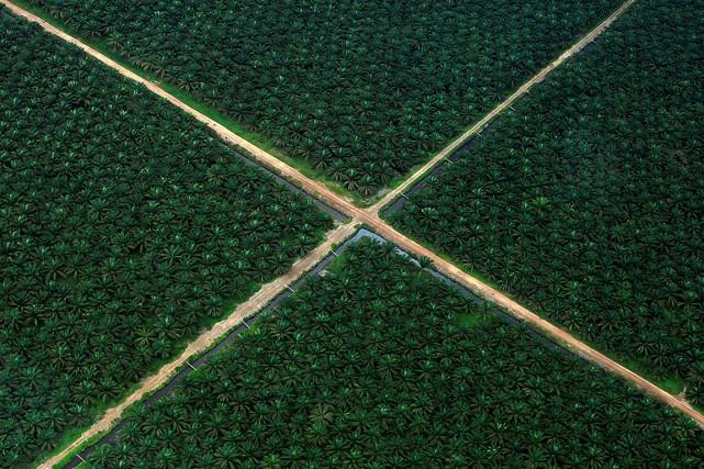 Les plantations de palmiers à huile sont responsables... (Beawiharta, archives REUTERS)
