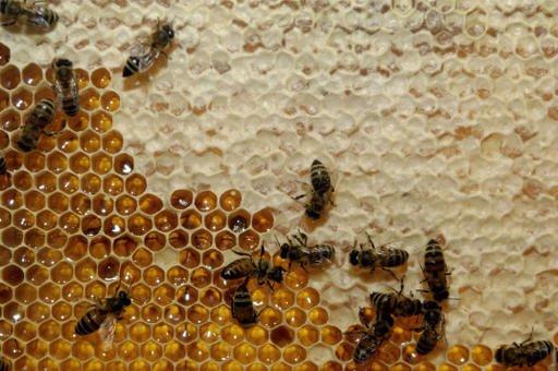 Une mouche fait des ravages dans les ruches