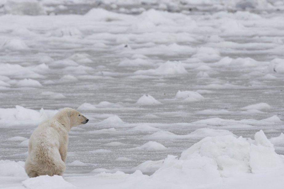 Des ours polaires vivent la famine